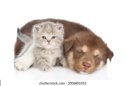 Red sleepy Siberian Husky puppy hugging scottish kitten. isolated on white background