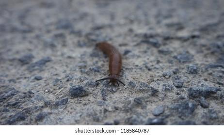 Red Slug - Arion rufus