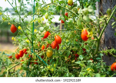 Red small cherry tomato planting crop in greenhouse