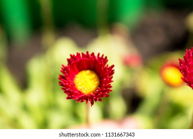 Red flower with yellow center images stock photos vectors red small flower with yellow center delicate flowers of daisy mightylinksfo