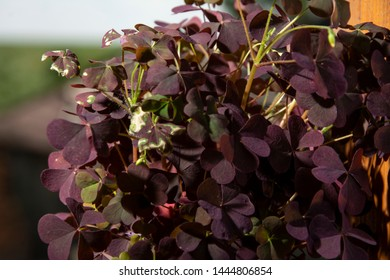"""Red small flowers """"Oxalis, close-up photo."""""""
