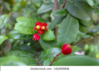 red small-leaved plane or carnival ochna or bird's eye bush or mickey mouse plant or mickey mouse bush (Ochna serrulata) flower in the garden