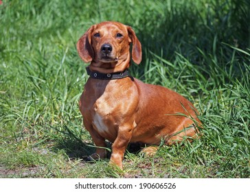 Red smooth-haired dachshund on green grass