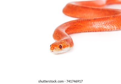 Red snake isolated on white background