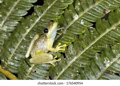 Red Snouted Treefrog (Scinax ruber) on a fern leaf in the rainforest, Ecuador