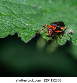Red soldier beetle (Rhagonycha fulva), also misleadingly known as the bloodsucker beetle, and popularly known in England as the Hogweed Bonking Beetle is a species of soldier beetle (Cantharidae).