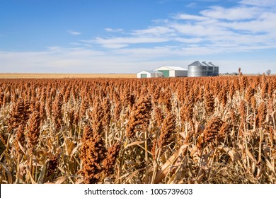 red sorghum field and farm buildings  in western Kansas