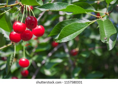 Red sour cherry on a tree branch in a garden, nature background.