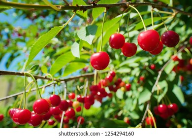 Red  sour or tart cherries growing on a cherry tree. Ripe Prunus cerasus fruits and green tree foliage.