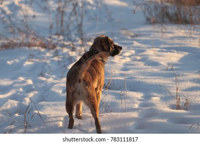 Red spaniel on winter hunt. In the sunset light.