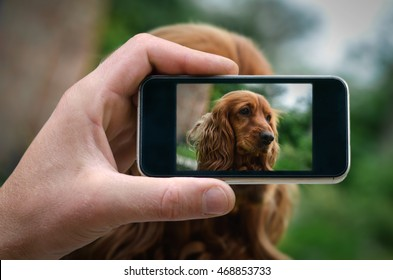 red spaniel. phone in hand man (photographing dogs) photos from your phone, Self, photographing on the phone, the man photographs the dog on the phone (smartphone)