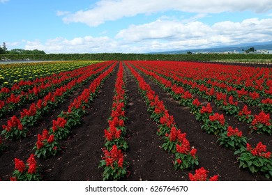 A red spider flowers plantation farm with cloudy sky