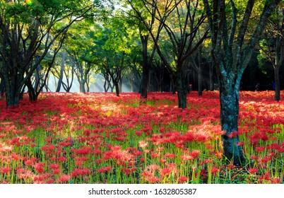 Red spider lilies in the morning at Bulgapsa Temple near Yeonggwang-gun, Korea