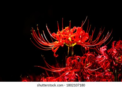 Red Cluster‐amaryllis or Red Spider Lily in The Dark in Japan, Autumn or Fall Image