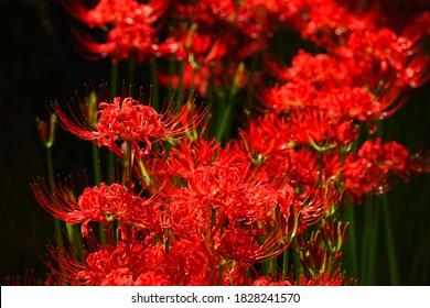 Red spider lily flowers, Azumino City, Nagano Pref., Japan