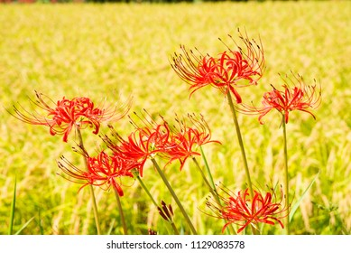 Red spider lily flowers in front of yellow rice field