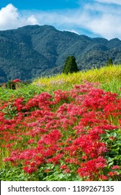 Red spider lily flowers in front of mountain under sky