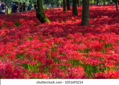 """Red spider lily is in full bloom """"Kinchakuda"""" landscape. It is a popular spot where many tourists visit. Hidaka City, Saitama Prefecture, Japan."""