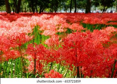 Red spider lily, Kinchakuda, Hidaka, Saitama, Japan
