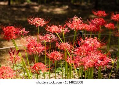 Red spider lily, Lycoris radiata (Higanbana in Japanese) floers garden in autumn