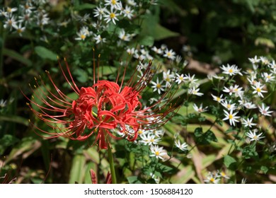 Red Spider Lily (Lycoris radiata), also known as hurricane lily or resurrection lily, blooming in a garden with white asters.