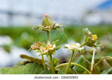 Red spider mite infestation on strawberry crop