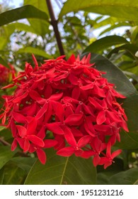Red spike flower. King Ixora blooming (Ixora chinensis). Rubiaceae flower. Ixora flower. Ixora coccinea flower on green leaves background in the garden.