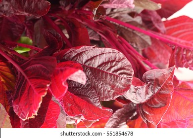red spinach abstract background,selective focus image.