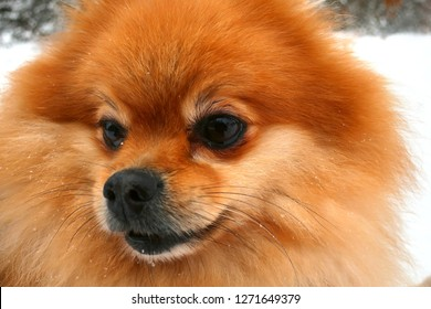 Red spitz close up
