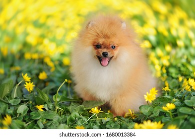 Red spitz sitting in the yellow primroses meadow
