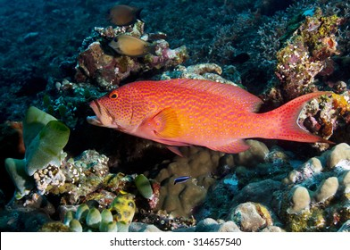 Red and spotted barred Coronation Trout (Grouper, Groper) (Variola louti) watching camera at a cleaning station on coral reef on black volcanic rock at Tulamben Bay in Bali Indonesia