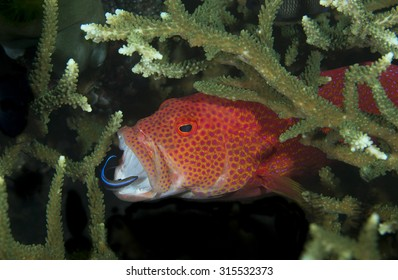 Red and spotted barred Coronation Trout (Grouper, Groper) (Variola louti) with wrasse in mouth at a cleaning station on coral reef on black volcanic rock at Tulamben Bay in Bali Indonesia