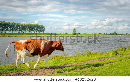 Red spotted heifer cow pulling his tail up to defecate. It's a sunny day in the summer season.