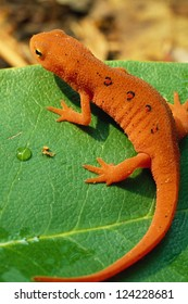 Red Spotted Newt, or Eastern Newt, on Green Leaf