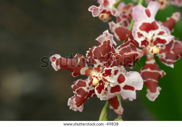red spotted orchid