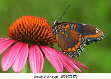 red spotted purple butterfly Limenitis arthemis on coneflower