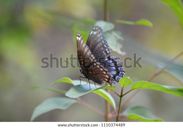 Red spotted Purple Butterfly on Leaf