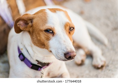 Red spotted white dog looking at the camera with purple collar lying and rest in the shade of the summer sun