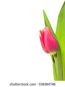 Red spring tulip on white background