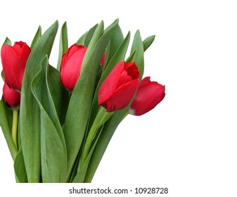 Red spring tulips on white background