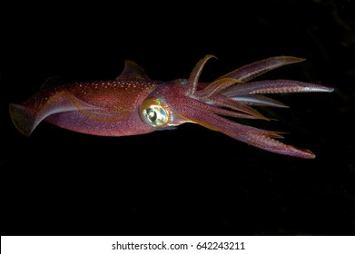 Red squid with big eyes in darkness