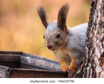 Red Squirrel in the autumn forest. Shallow depth of field.