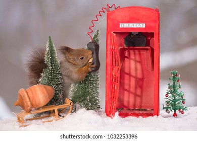 red squirrel between trees with an Telephone Booth in snow