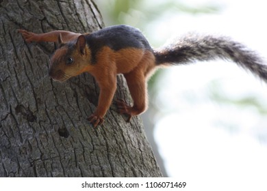 Red squirrel with a black band down its back and tail perched to jump from a tree in Costa Rica