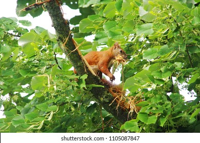 red Squirrel building a nest in a linden tree