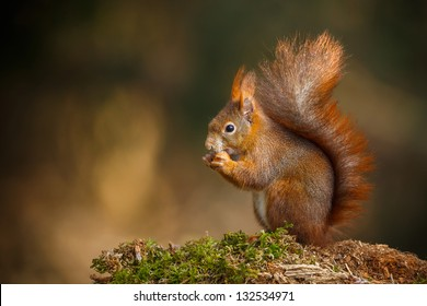 Red squirrel with bushy tail munching on a nut