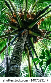 Red squirrel climbing up a lush green coconut palm tree in Montezuma, Costa Rica