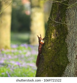 A red squirrel is climbing up an old oak tree in the park looking at the cam