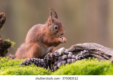 Red squirrel cracking a nut