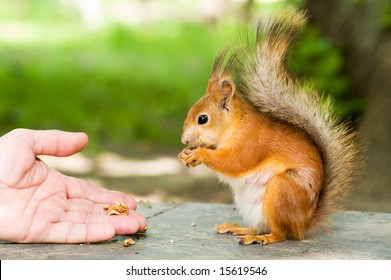 red squirrel eating in the hand